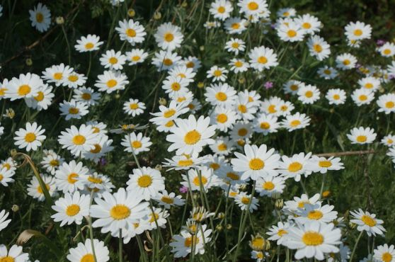 Daisies at ventnor botanic garden