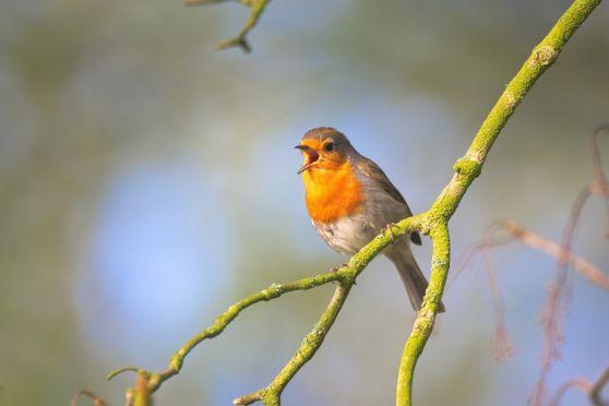 Small bird sing robin bird close garden bird small sings-1392906